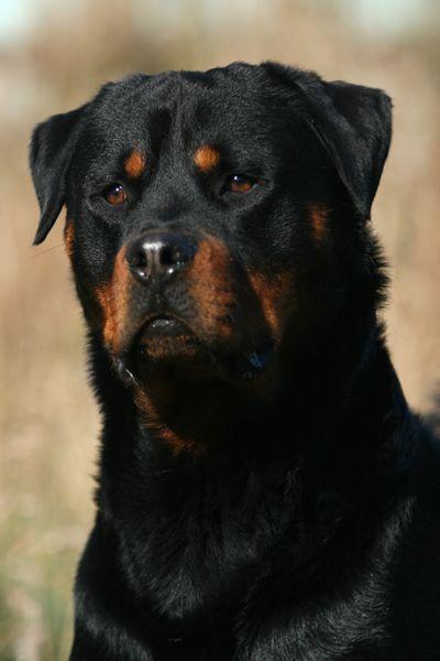 Ротвейлер картинки, фото собак породы ротвейлер ...: http://rottweiler-foto.narod.ru/rottweiler-kartinki.html