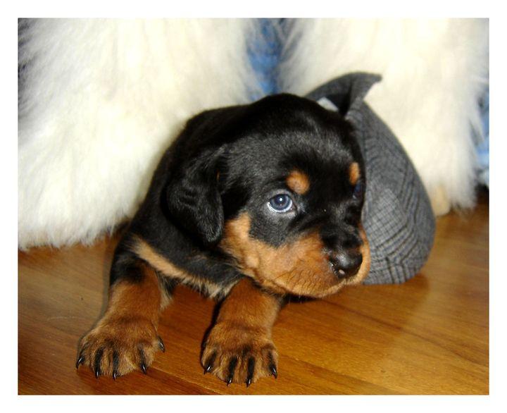Ротвейлер фото щенки, фото собак ...: rottweiler-foto.narod.ru/rottweiler-photo-shhenki.html